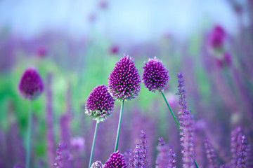 Chive herb flowers - Allium sphaerocephalon on beautiful  backgr