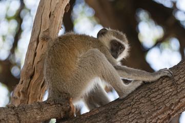 Vervet monkey (Cercopithecus aethiops), Chobe National Park, Botswana, Africa