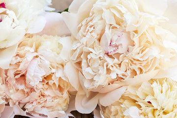Splendid white pink peonies flowers on wooden planks