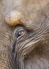 Close up of a adult elephant's (Elephantidae) eye and crinkled skin, Pinnewala Elephant Orphanage, Sri Lanka, Asia