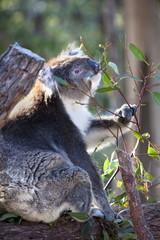 Portrait of koala bear at Yenchep National Park, Western Australia, Australia, Pacific