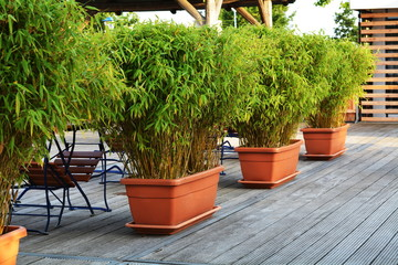 green bamboo in flowerpots