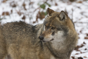 Gray wolf (Canis lupus), Bavarian Forest National Park, Bavaria, Germany, Europe