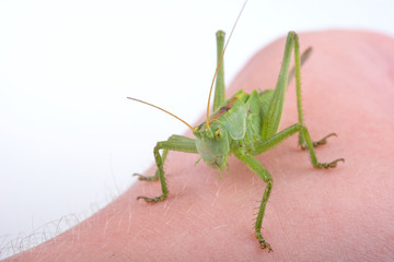 Green grasshopper on a hand
