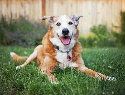 a senior dog laying in the grass in a backyard smiling at the ca