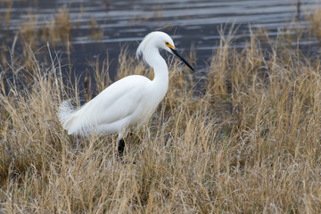 Snowy Egret in dried grass on an overcast day