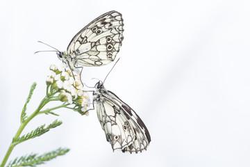 Farfalle,