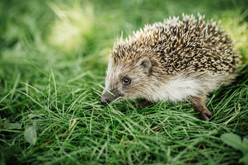Hedgehog on a walk on the grass
