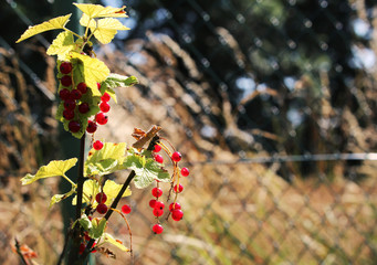 Detail of red currant in the garden