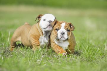 Cute english bulldog puppies playing outdors
