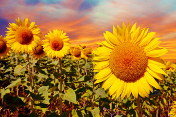 A magical landscape with sunflowers at sunrise against the sky (
