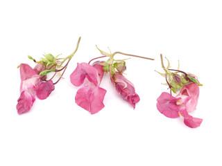 Obraz balsam flowers on a white background - fototapety do salonu