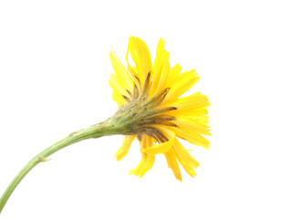 crepis flower on a white background