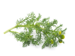 Herbs pineappleweed (Matricaria discoidea) on a white background