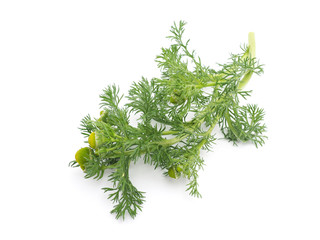 Herbs pineappleweed (Matricaria discoidea) on a white background