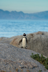 An African penguins on the beach