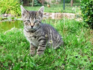 Kleine Maikatze sitzt am Teich - getigerter Kater guckt neugierig