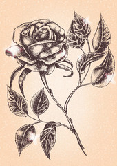 Flower Rose. Sketch on textured background