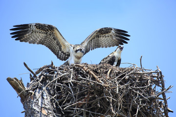 Adolecent Osprey Test Their Wings in the Nest