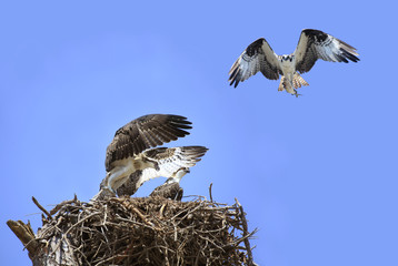 Adolecent Osprey in the Nest While Parent Brings Lunch