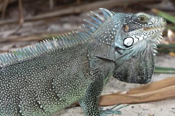 Iguane lizard portrait macro, close-up