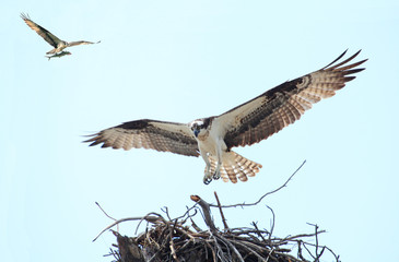 Osprey Landing on it's Nest With Her Mate Flying in with a Fish