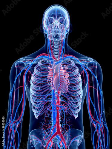 the human vascular system -\