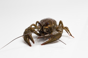 live crayfish on a white background
