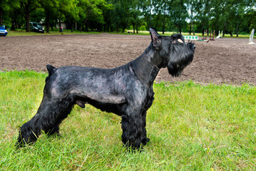 Giant schnauzer profile. The Giant schnauzer is on the grass in the park.