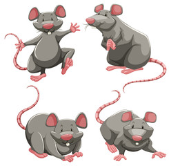 Gray rat in different poses