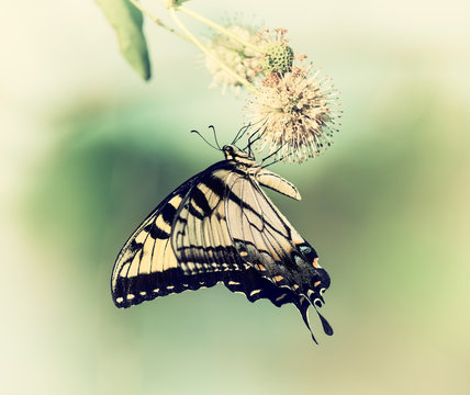 Eastern Tiger Swallowtail butterfly (Papilio glaucus) on buttonbush flowers. Vintage filter effects.