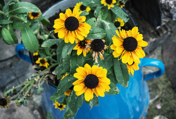 Yellow sunflowers in the metal blue pot