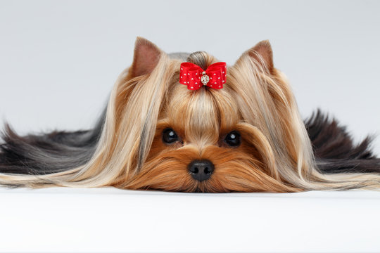Closeup Portrait Yorkshire Terrier Dog Lying on White