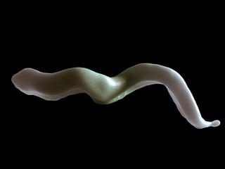 Trypanosoma brucei parasite or Sleeping Sickness Parasites