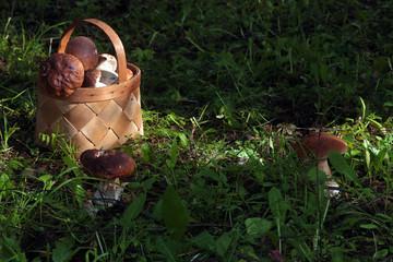 collect porcini mushrooms in nature