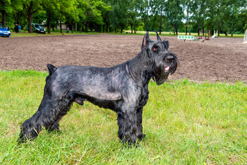 Giant schnauzer stands. The Giant schnauzer is on the grass in the park.