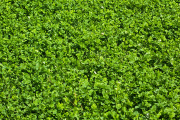 Lawn of clover leaves