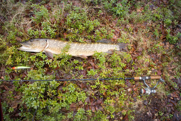 large trophy fishing pike fish