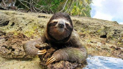 Cute three-toed sloth on ground of tropical shore