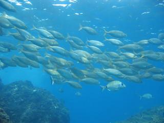 School of sea bream fish Salema porgy