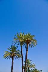 Palm Tree on Blue Sky-Menara parc in Marrakech-Morocco