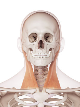 medically accurate muscle illustration of the sternocleidomastoid