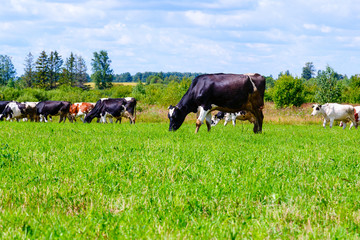 herd of cows walks on the field