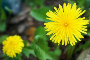 close up dandelions