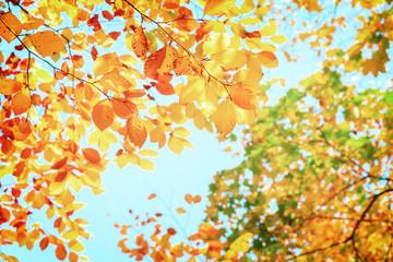 yellow cherry tree in autumn park