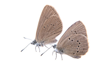 Two brown butterflies on a black background