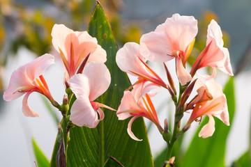 Close up of pink canna lily flower in garden at Thailand