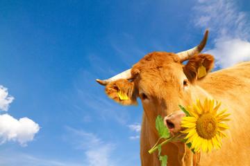 Braune Kuh mit Sonnenblume