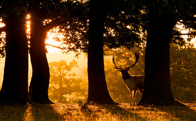 Fallow deer buck silhouetted by the morning sunrise Wall mural