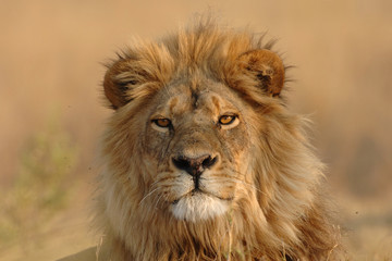 Male Lion looking directly at viewer